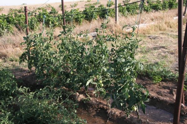 Depuis La Premiere Photo De Plantaison Des Tomates, Toutes Mes Petites  Plantes Ont Bien Pousse. De Haut En Bas: Melons Et Haricots; Melons;  Tomates; ...
